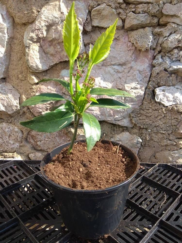 Цветок «аукуба»: фото, уход в домашних условиях
