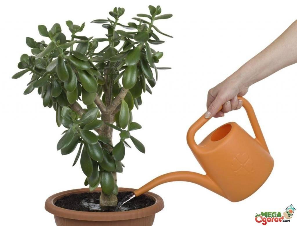 Как вырастить дома денежное дерево и ухаживать за ним?