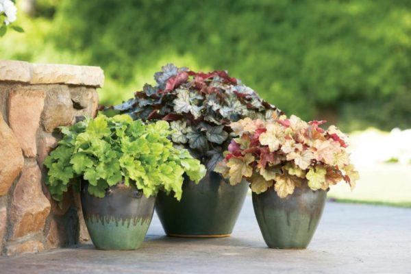 Травянистый многолетник гейхера: посадка и уход в открытом грунте, фото, разнообразие сортов и оттенков декоративного растения
