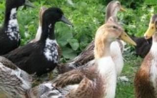 Сколько времени нужно уткам разных пород высидеть птенцов