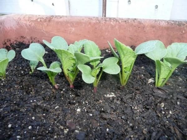 Как вырастить редис в тепличных условиях?