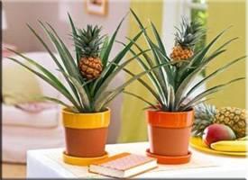 Можно ли употреблять ананас кормящей маме