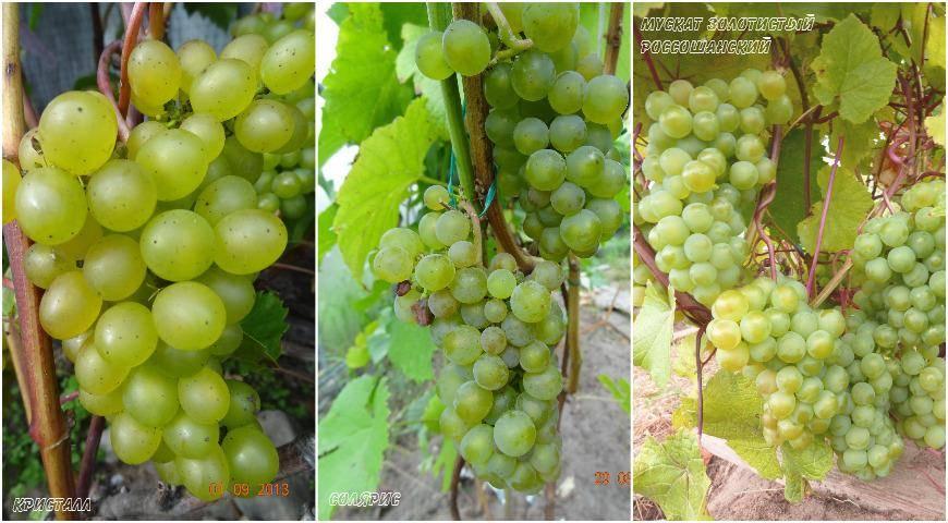 Особенности агротехники технического винограда