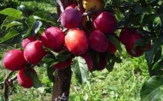 Выращиваем алычу