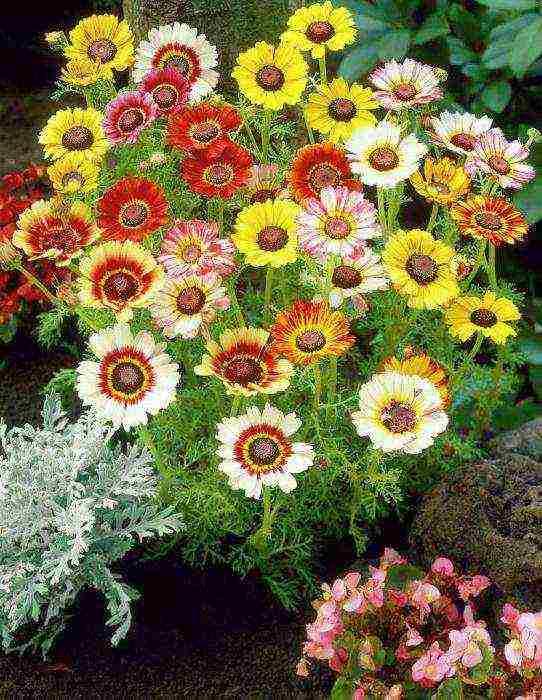 Выращивание хризантемы килеватой из семян — фото рассады