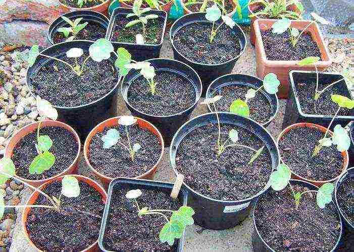 Посадка настурции семенами в открытый грунт