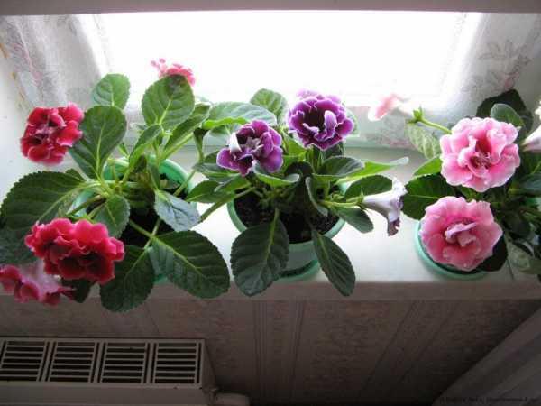 Великолепная глоксиния — уход в домашних условиях за экзотическим цветком амазонки