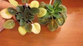 Почему у комнатной фиалки желтеют листья
