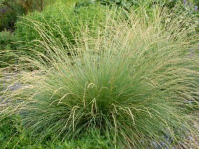 Успешное выращивание овсяницы из семян