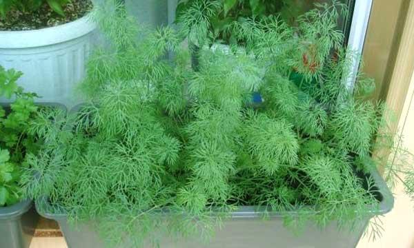 Как правильно выращивать укроп дома на подоконнике?