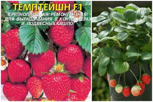 Как ухаживать за клубникой весной и летом: как правильно поливать, чем кормить, как защищать урожай