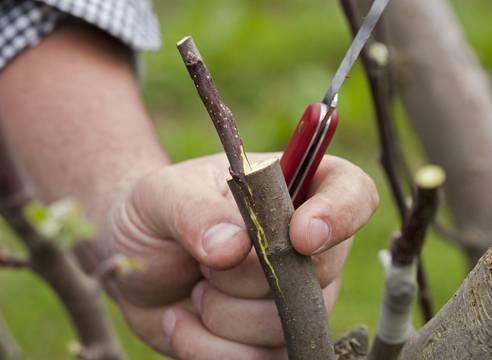 Размножаем плодовые деревья воздушными отводками