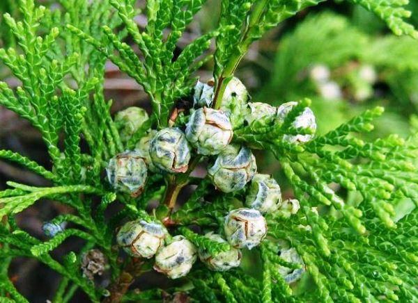 Кипарисовик лавсона элвуди уход в домашних условиях выращивание из семян посадка и уход