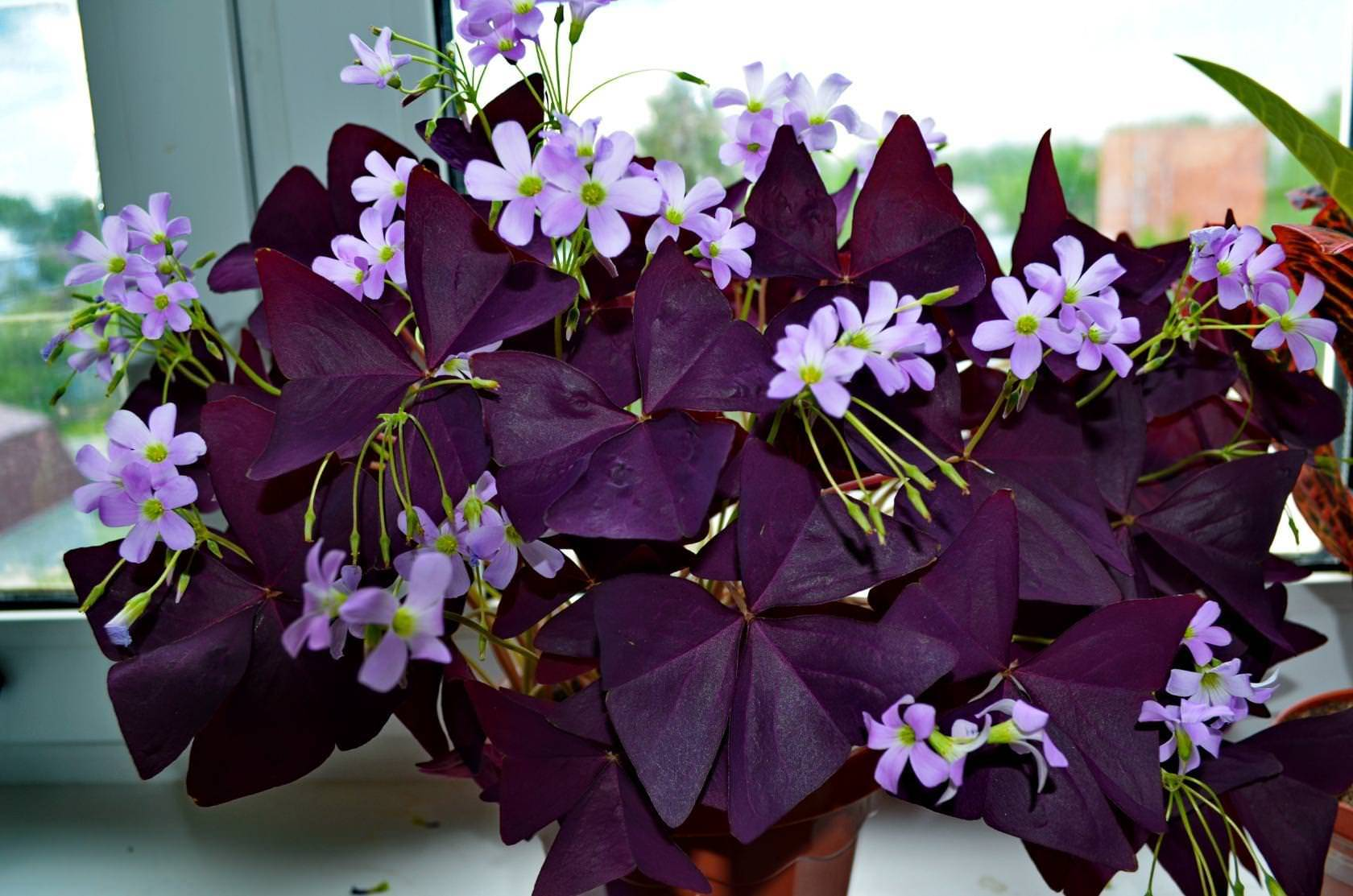 Комнатное растение кислица: особенности ухода в домашних условиях
