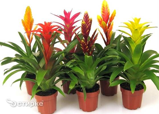 Цветок гузмания – уход и пересадка, размножение в домашних условиях