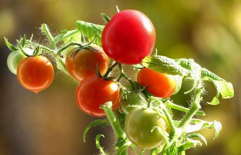 Томат дубок — характеристики, 5 правил выращивания и уход