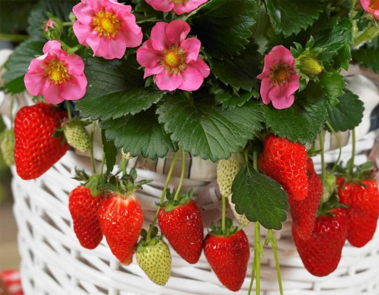 Чем обработать клубнику весной от болезней и вредителей весной 2019 года, средства и препараты для обработки в мае, химические, народные, безвредные для ягод биологические составы