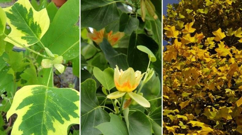 Особенности выращивания тюльпанового дерева из семян