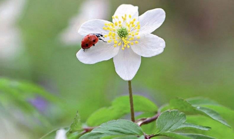 Цветы анемоны посадка и уход в открытом грунте
