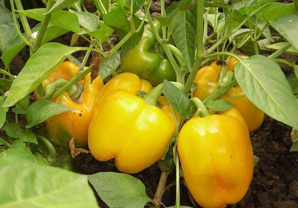 Лучшие семена перцев для сибири