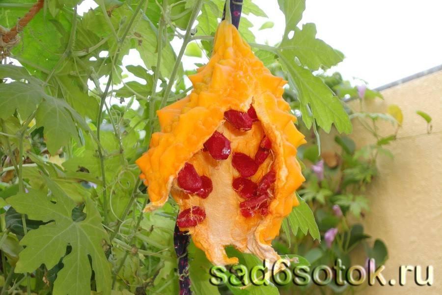 Выращивание момордики из семян. когда сажать. размножение в 2020 году