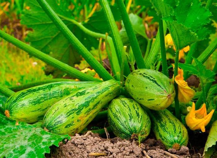Выращивание кабачков с применением популярных технологий
