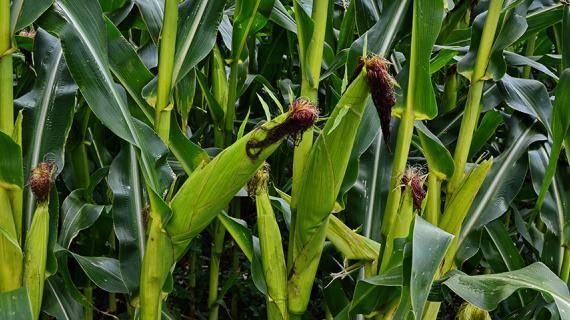 Интенсивная технология выращивания кукурузы на зерно