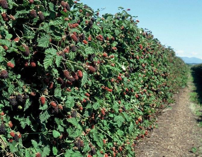 Правильная обрезка ежевики осенью для повышения урожайности кустов
