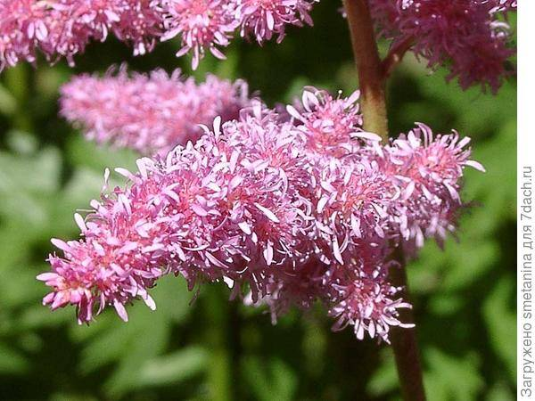 Астильба: яркие метёлки соцветий