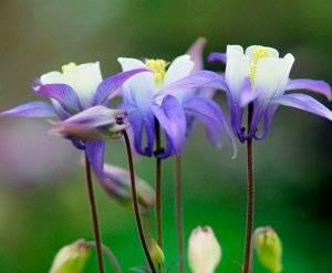 Аквилегия — посадка, уход, выращивание из семян