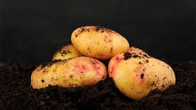 Железистая пятнистость картофеля: причины, профилактика, видео