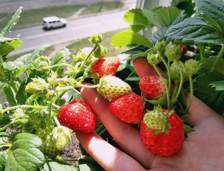 Уход за клубникой во время цветения и плодоношения