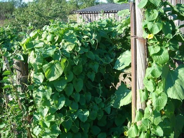 Тладианта или особенности выращивания красного огурца