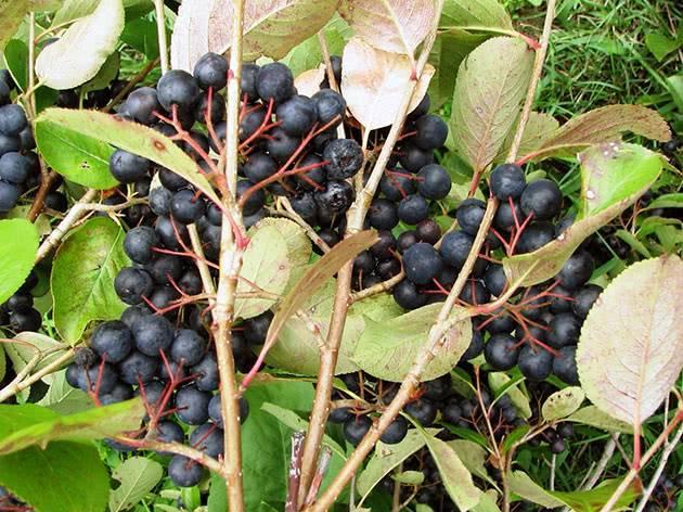 Посадка и уход за черноплодной рябиной. польза ягоды.