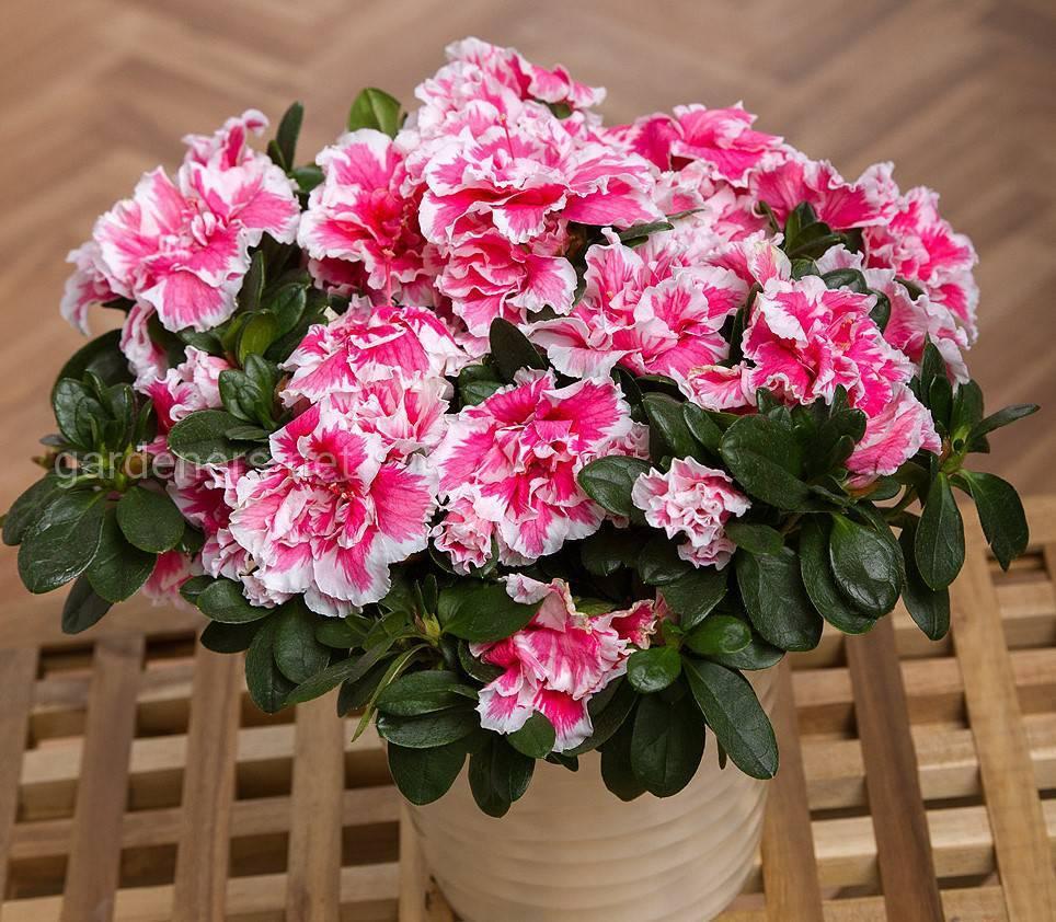 Азалия отцвела, что делать дальше — уход за растением после цветения