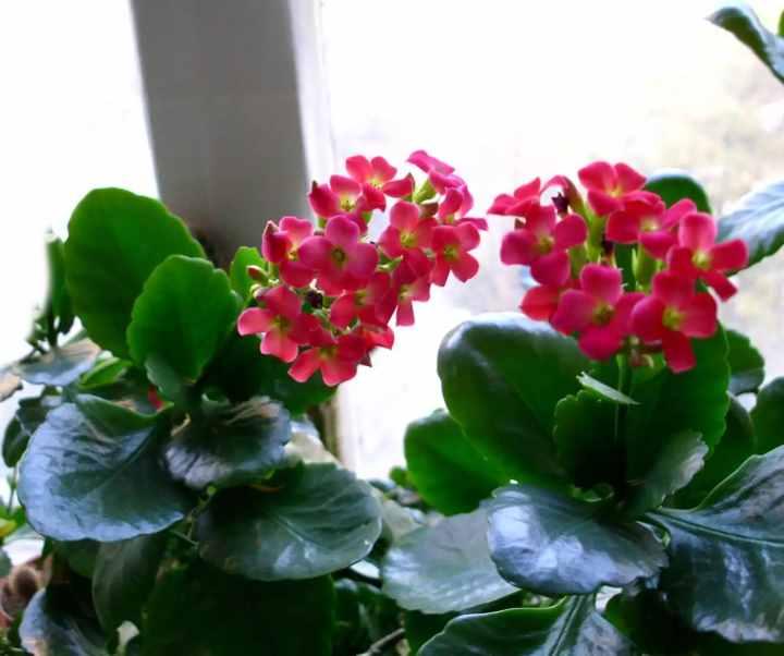 Как самостоятельно пересадить каланхоэ, чтобы растение принялось и пошло в рост?