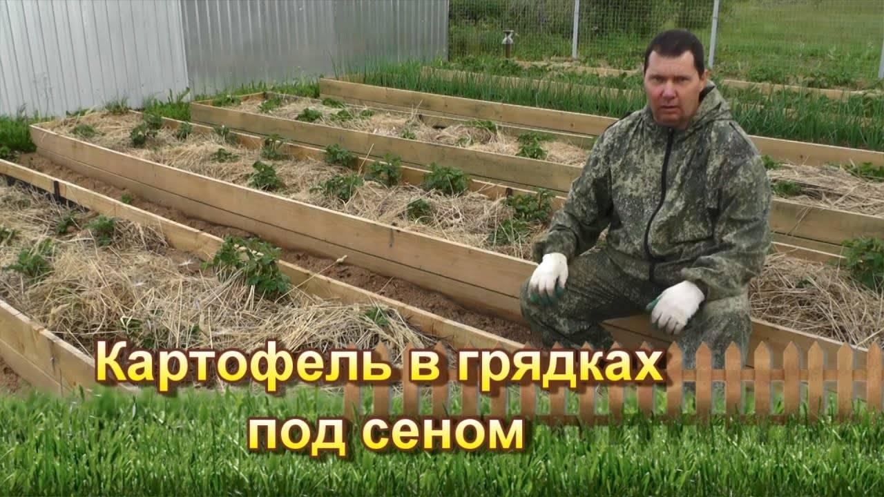 Выращивание картофеля под соломой – технология и видео