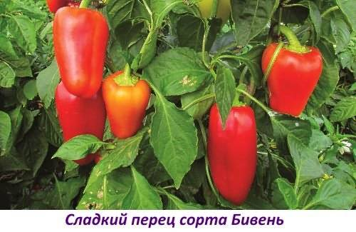 Сорта круглых толстостенных перцев: фото и описание
