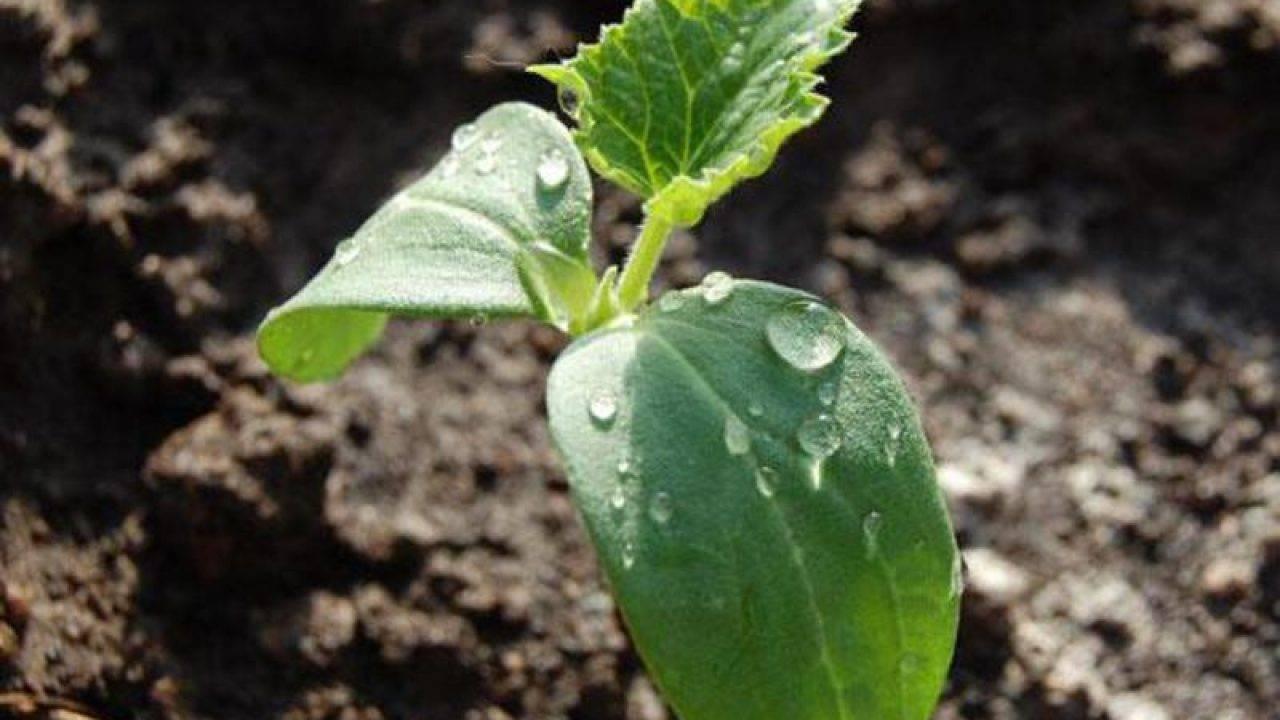 Как правильно посадить, выращивать и ухаживать за рассадой огурцов