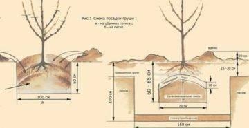 Правильная посадка груши в открытый грунт (фото, видео)