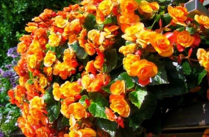 Удобные способы выращивания ампельной бегонии — черенками и из семян. уход за растением