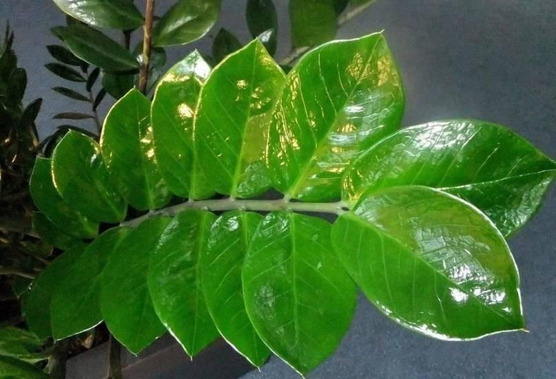 Липкие листья у петунии: почему растение покрывается серым налётом и гнилью?