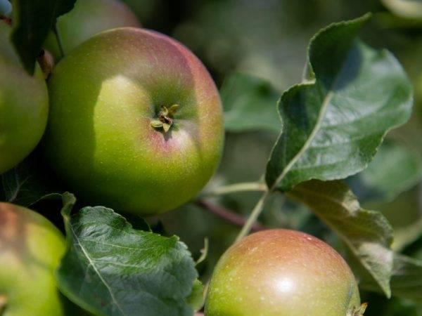 Чем полезны яблоки для организма, лечебные свойства и противопоказания