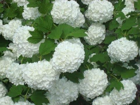 Особенности выращивания декоративной калины бульденеж