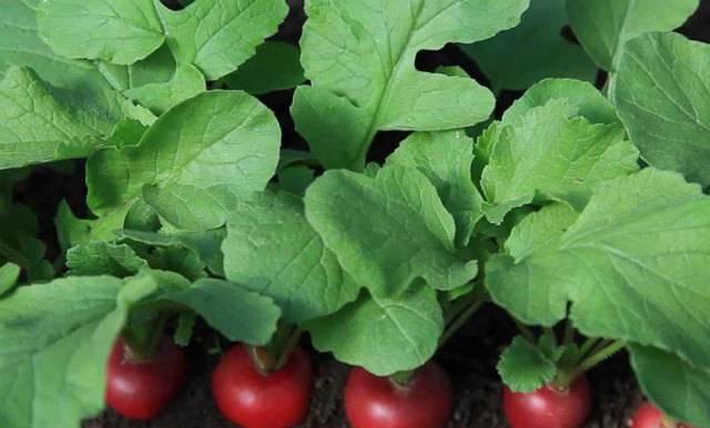 Выращивание редиса – посадка и уход в саду