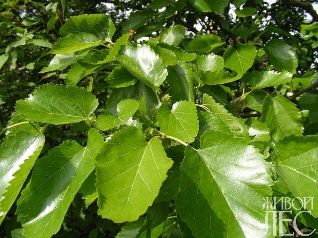 Живая сокровищница полезных элементов – тутовое дерево