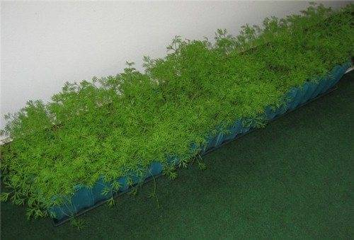 Витамины на подоконнике: выращивание укропа дома