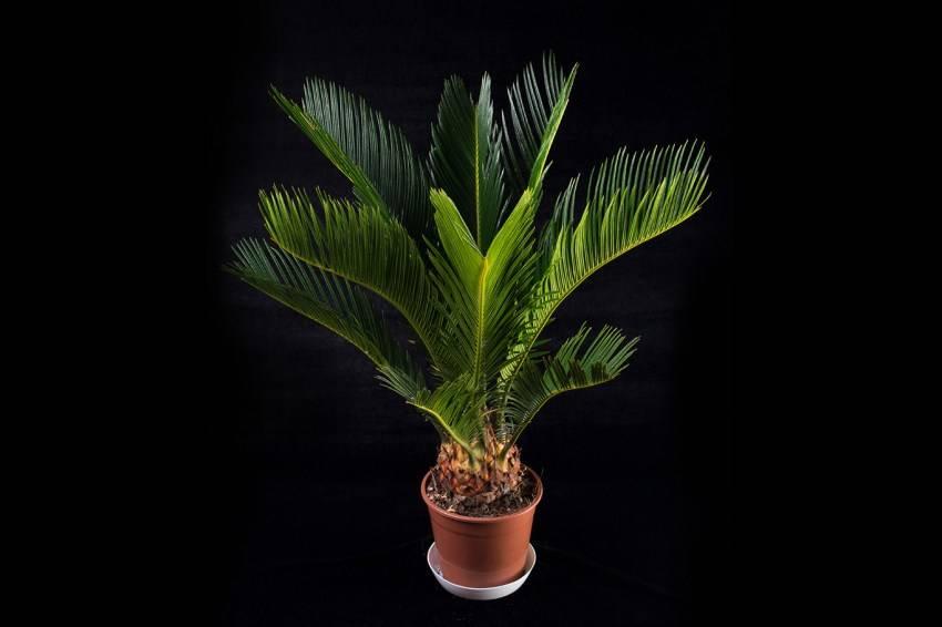 Цикас революта (cycas revoluta) — уход и размножение