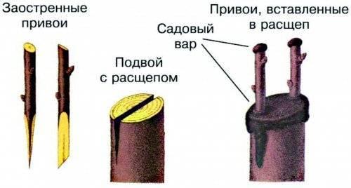 Производим прививку продуктивного плодового привоя на сливу