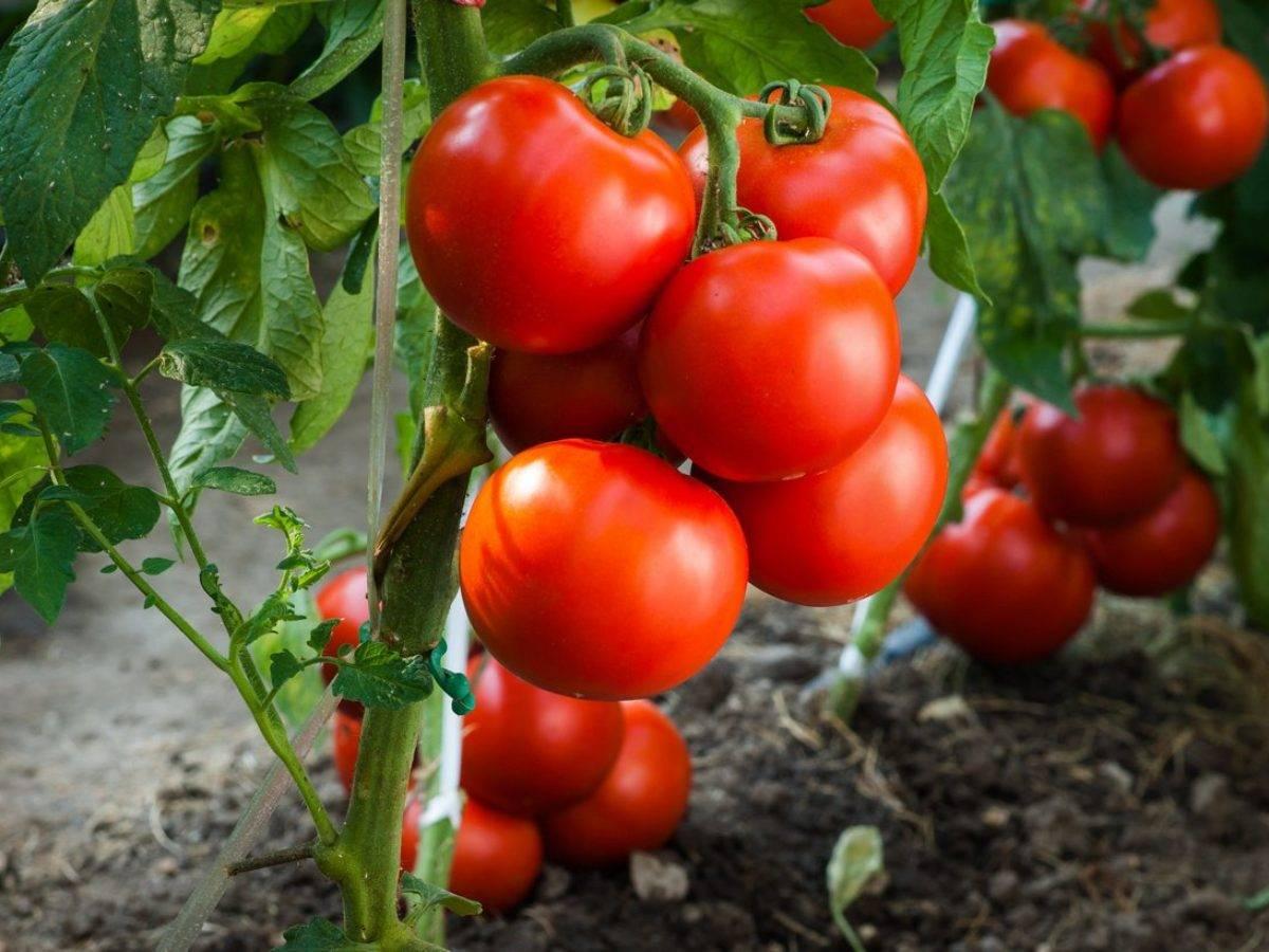 Сорта томатов: хурма